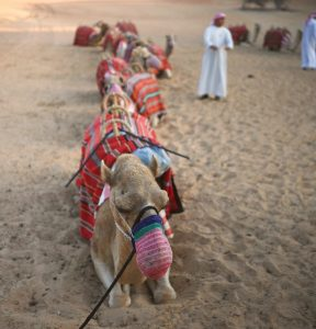 Camel Trek at Sunset at the Al Maha Resort